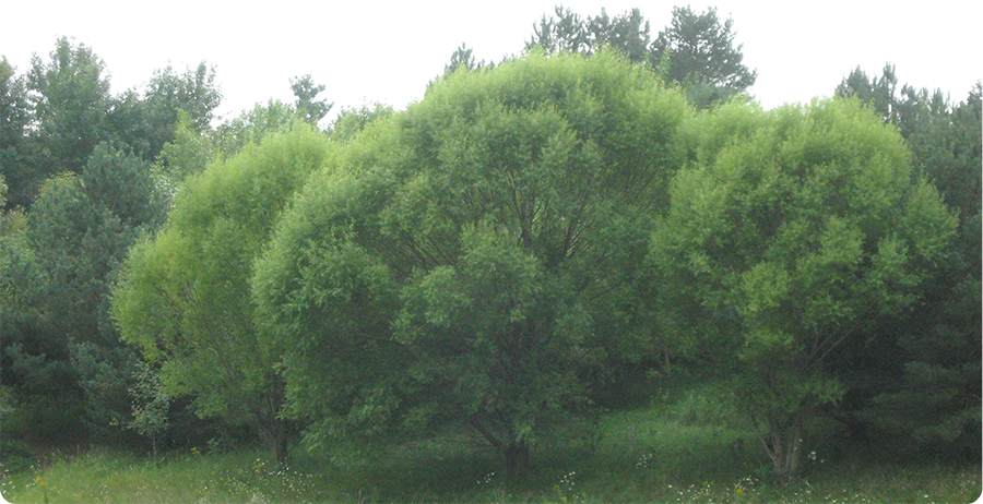 Navajo Willow Fast Growth
