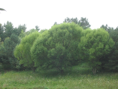 Navajo Willow, Globe Willow-Fast Trees