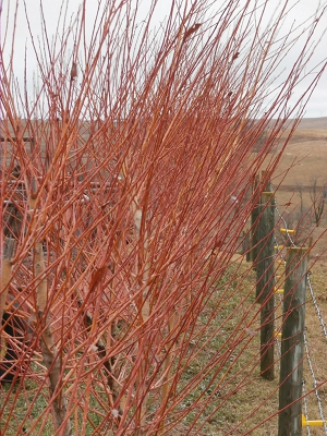 Fast Growing Red Stemmed Willow