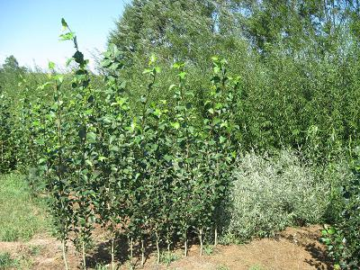 Fast Growing Lancer Poplar
