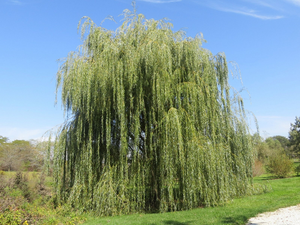 Growing Weeping Willow Trees