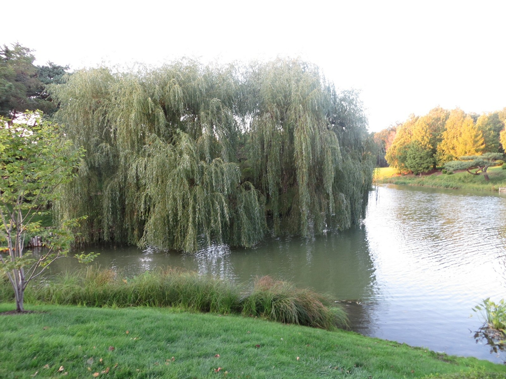 Water Edge Weeping Willow