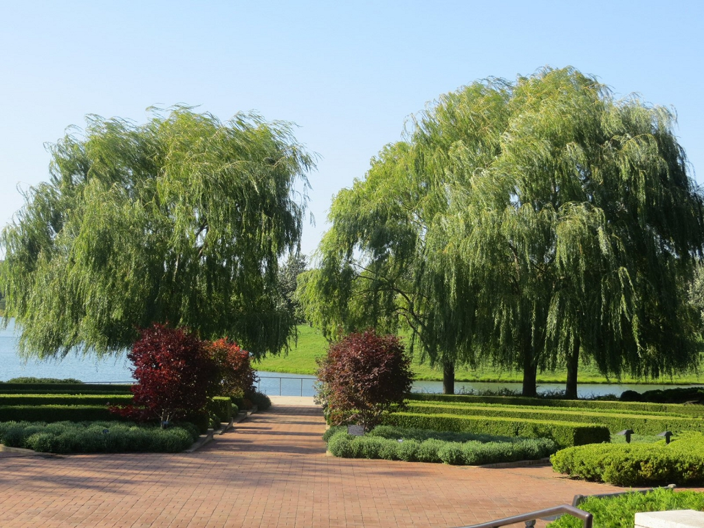 Water Willow Hybrids