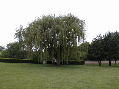 Weeping Willow Hybrid