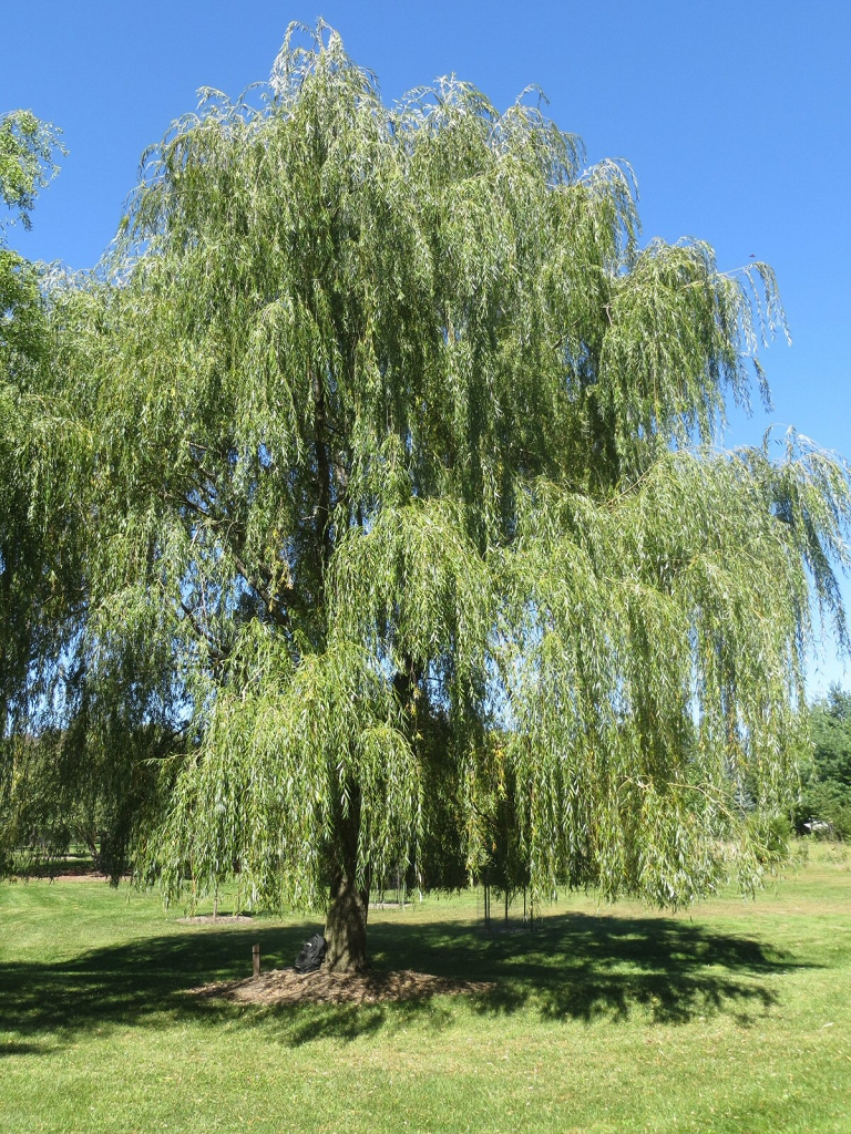 Willow Trees Weeping Quick Growing