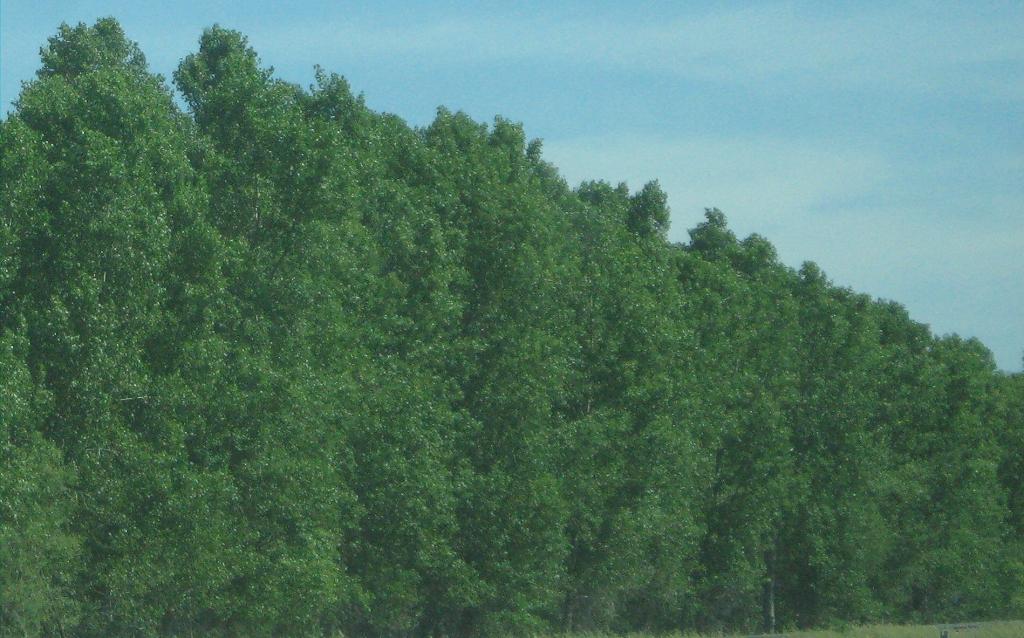 Fast growing windbreak trees