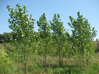 Windbreak Hybrid Poplars